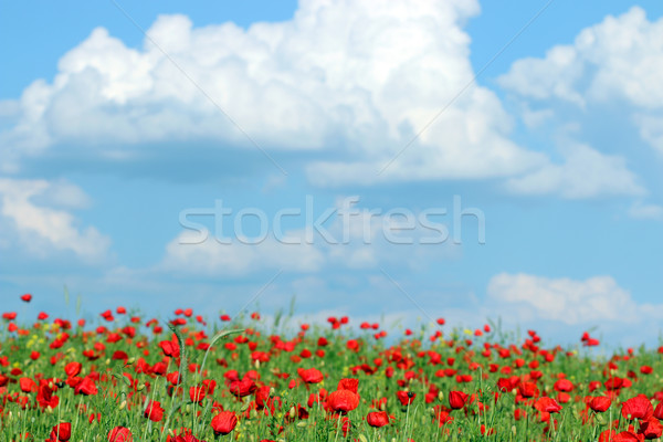 red poppies flower and blue sky meadow Stock photo © goce