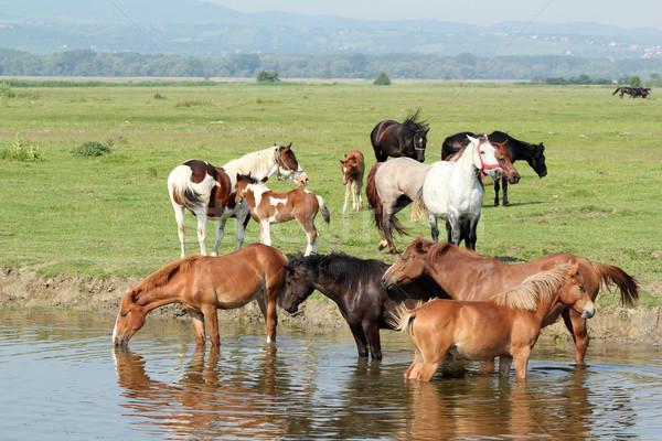 Troupeau chevaux rivière herbe nature cheval Photo stock © goce