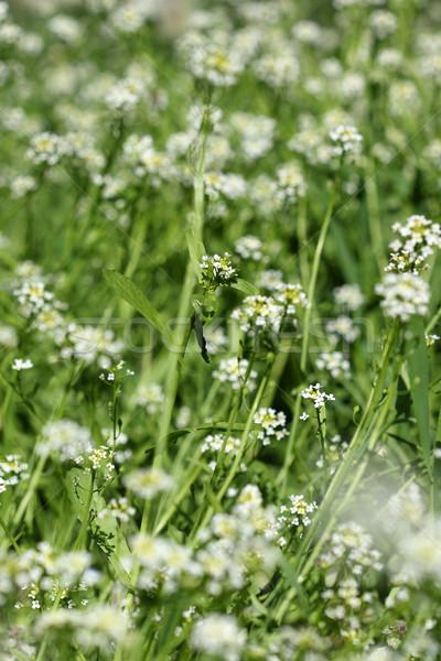 Fehér vadvirág tavasz évszak virág fű Stock fotó © goce