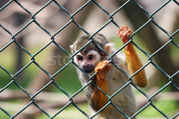 üzücü küçük maymun esaret doğa saç Stok fotoğraf © goce
