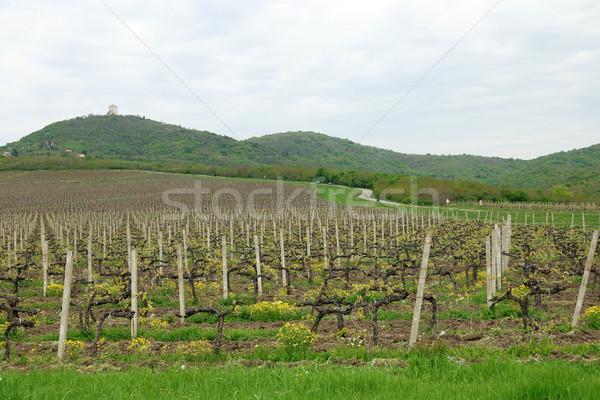 Szőlőskert zöld dombok tájkép bor természet Stock fotó © goce