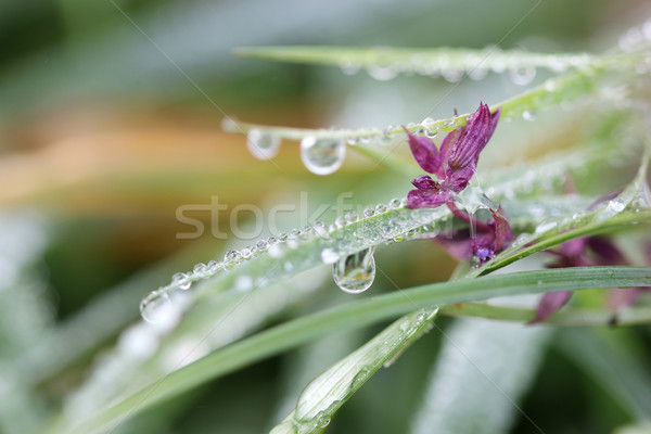 morning dew drops on grass and flower closeup Stock photo © goce