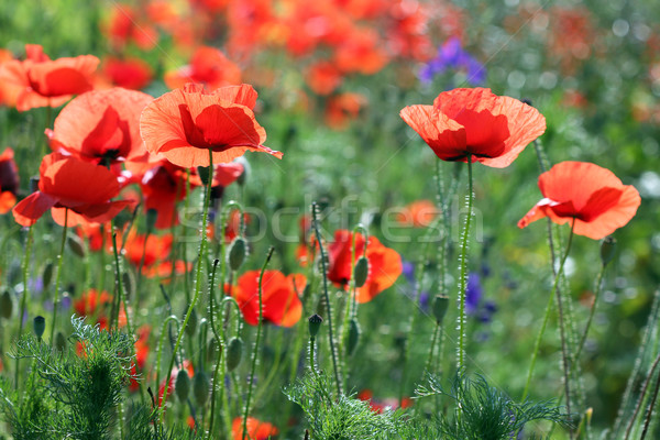 poppy flowers field summer season Stock photo © goce