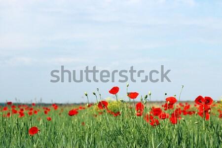 Kırmızı haşhaş çiçekler alan manzara gökyüzü Stok fotoğraf © goce