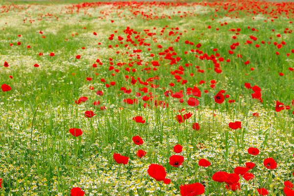 Flores silvestres prado primavera natureza paisagem verão Foto stock © goce
