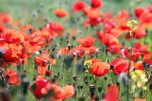 Flores silvestres pradera primavera temporada flores paisaje Foto stock © goce