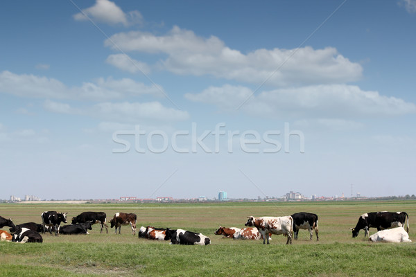 cows on pasture with city in background Stock photo © goce