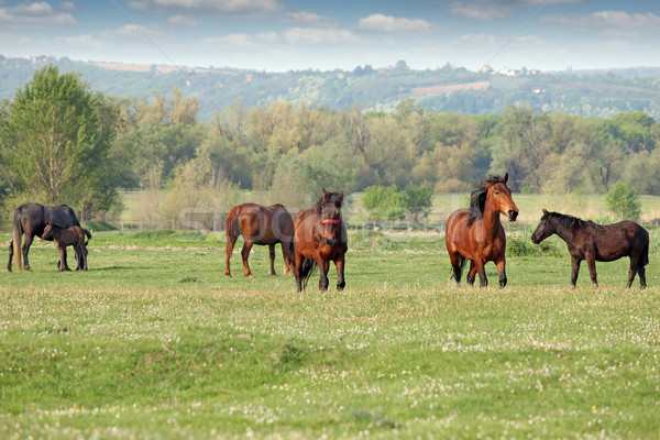 horses and foal on pasture Stock photo © goce
