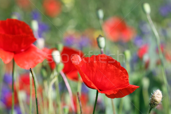 Poppies flower spring season nature Stock photo © goce