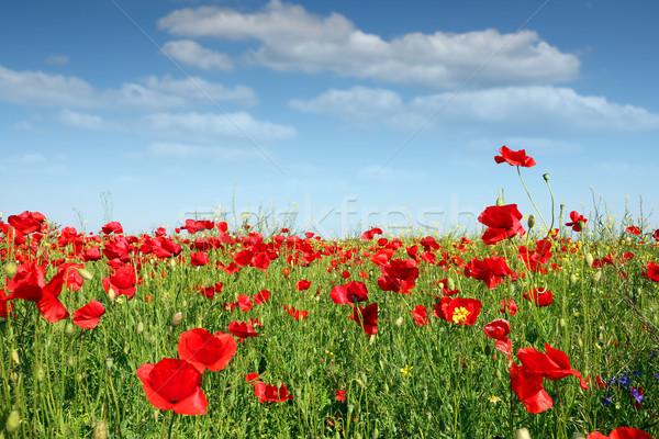 Pavot champ de fleurs printemps saison ciel fleur Photo stock © goce