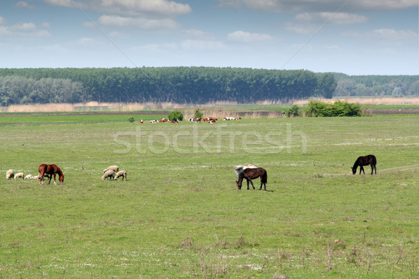 sheep horses and cows on pasture Stock photo © goce