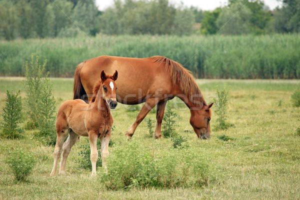 Kahverengi tay at çim doğa Stok fotoğraf © goce