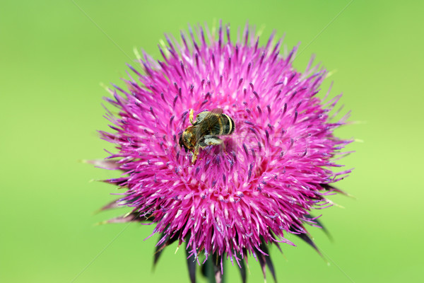 bee on burdock flower close up spring season Stock photo © goce