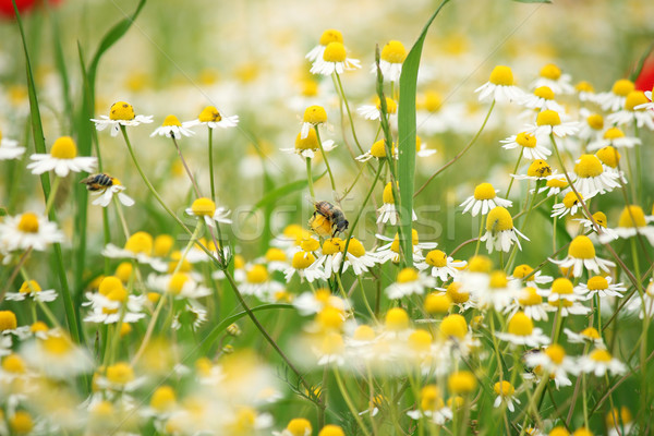 Abeja manzanilla flor silvestre primavera flor verano Foto stock © goce