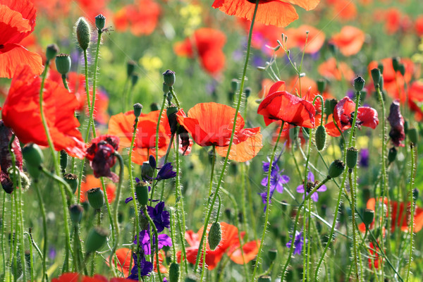 poppies flower spring meadow nature Stock photo © goce