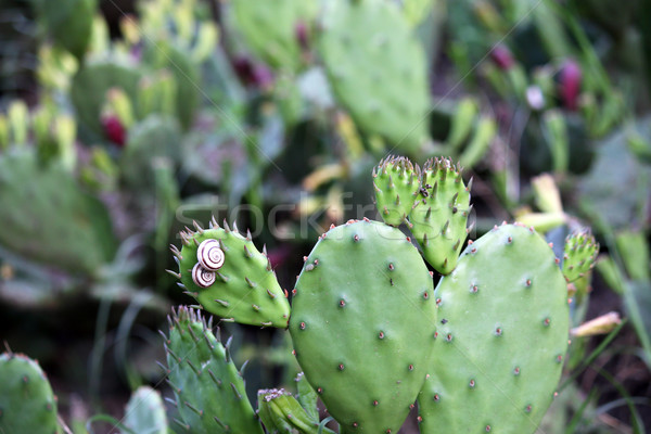 two little snails on cactus Stock photo © goce