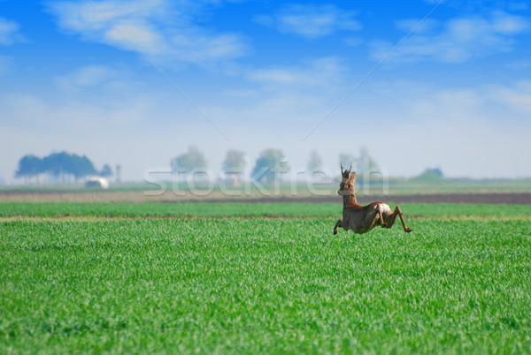 roebuck jumping over green wheat field Stock photo © goce