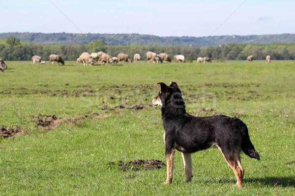 овчарка овец трава природы области Сток-фото © goce