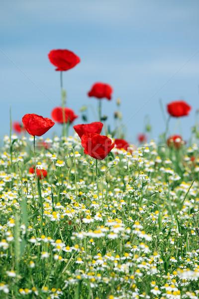 Primavera prado flores silvestres céu natureza verão Foto stock © goce