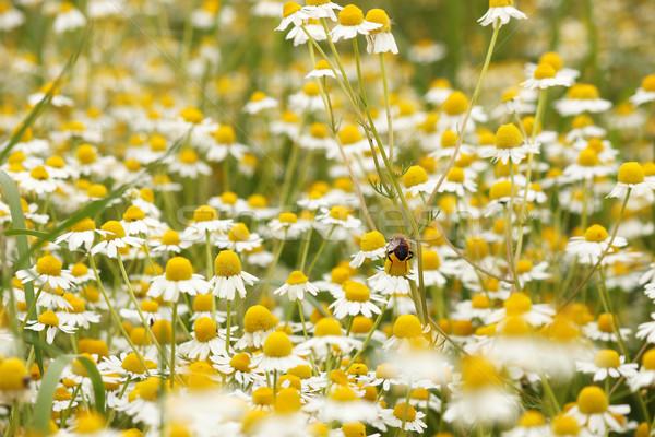 Kamilla vad virágok tavasz évszak virág nyár Stock fotó © goce