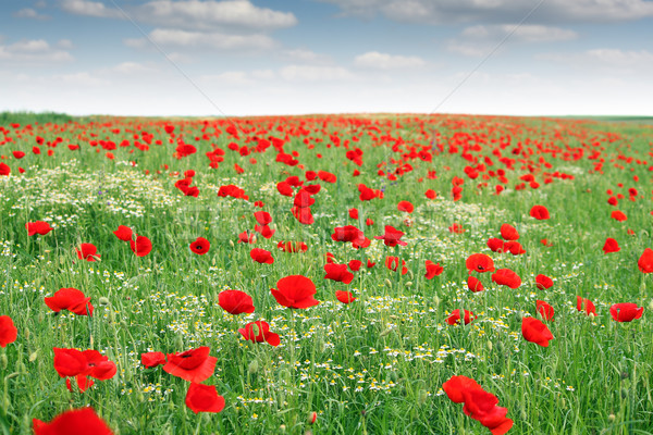 poppies flower meadow landscape spring season Stock photo © goce