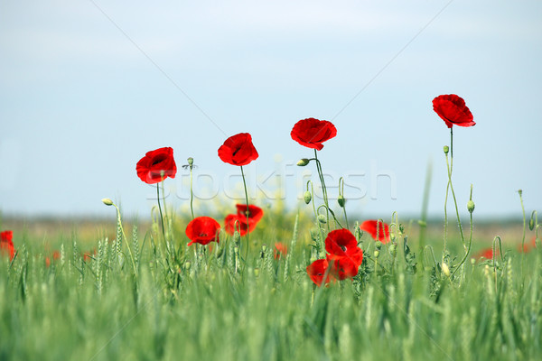 poppies flower on field spring season Stock photo © goce