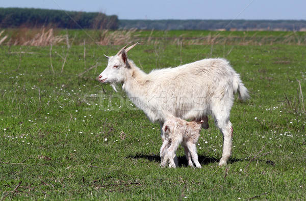 goat with just born little goat spring scene Stock photo © goce