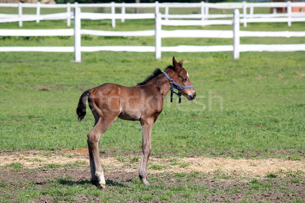 cute brown foal on farm Stock photo © goce