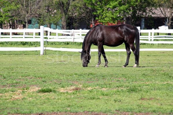black horse grazing in corral Stock photo © goce