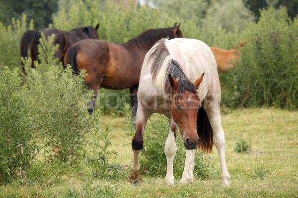 Nyáj lovak mező farm fehér vidék Stock fotó © goce