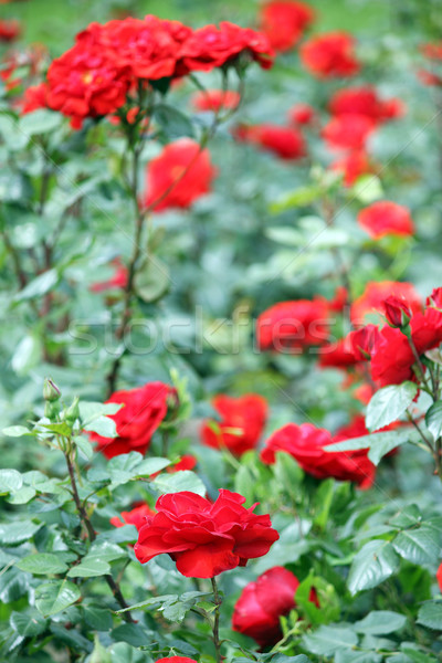 garden with red roses flowers springtime Stock photo © goce