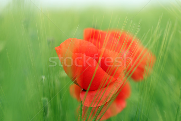 poppies flower in barley field closeup Stock photo © goce