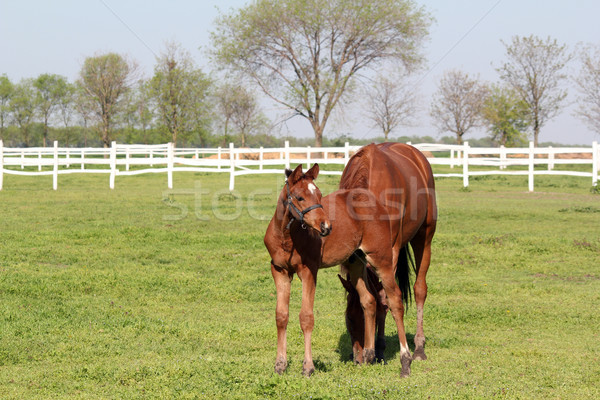 Stock photo: brown foal and horse farm scene