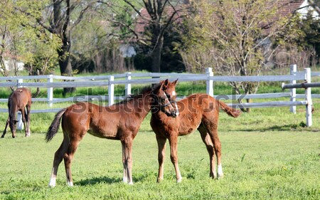 three young brown horse in corral Stock photo © goce