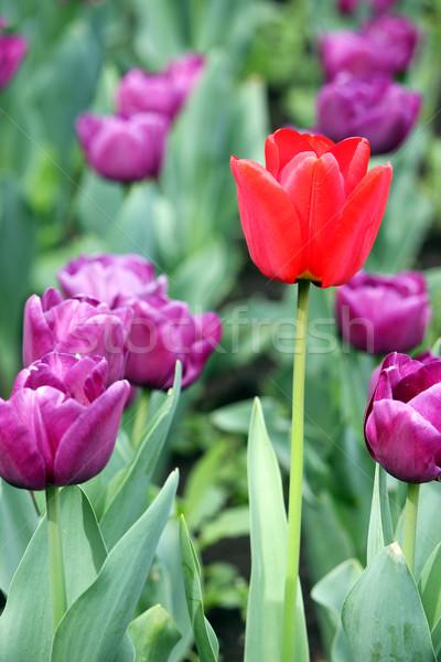 Mor bir kırmızı lâle çiçek bahar Stok fotoğraf © goce