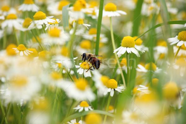 Abelha camomila flor primavera temporada verão Foto stock © goce
