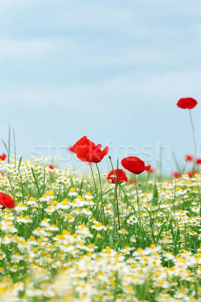 chamomile and poppy flowers meadow springtime Stock photo © goce
