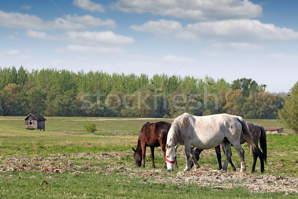 horses on pasture country landscape Stock photo © goce