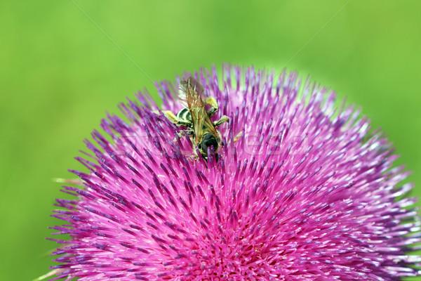 Bee nectar natuur zomer groene Stockfoto © goce