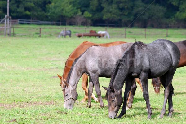 herd of horses grazing  Stock photo © goce