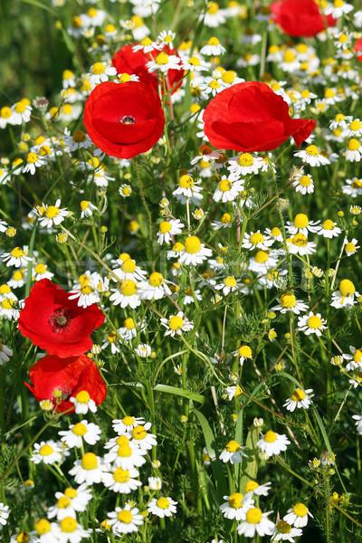 Camomila papoula flores silvestres primavera temporada natureza Foto stock © goce