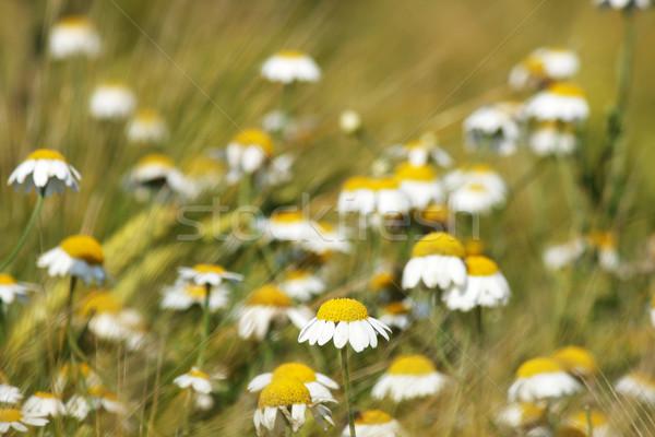 Camomila flores natureza verão verde Foto stock © goce