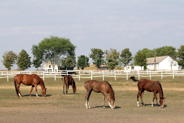 horse farm with horses and foals Stock photo © goce