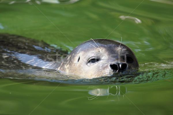 seal swimming nature wildlife scene Stock photo © goce