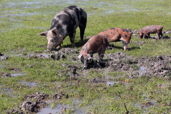 sow and little pigs in a mud Stock photo © goce