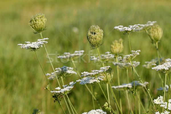 Vad virágok legelő tavasz évszak természet nyár Stock fotó © goce