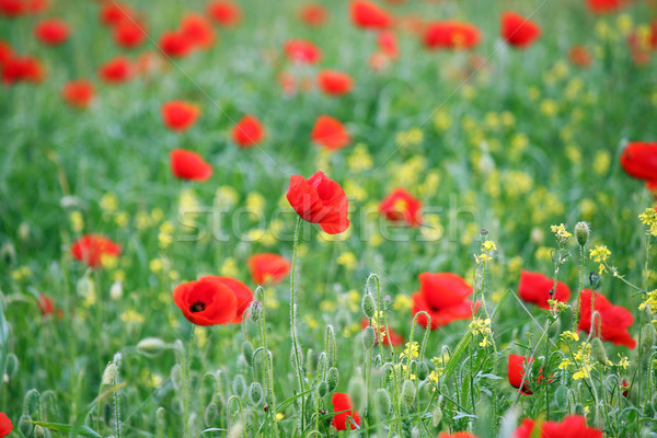 red poppies wild flowers field Stock photo © goce