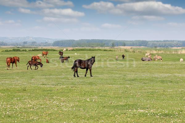 Lovak testtartás égbolt ló nyár mező Stock fotó © goce