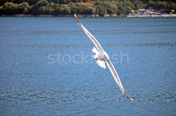 seagull with outstretched wings flying over the sea Stock photo © goce