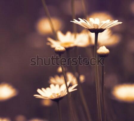 Camomila jardim fundo verão campo Foto stock © goce
